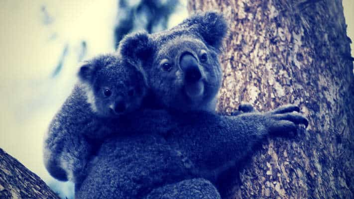 koala mother child