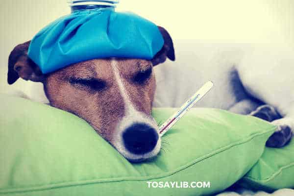 dog sick thermometer