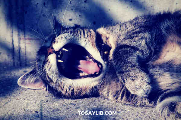 cat yawning lazy