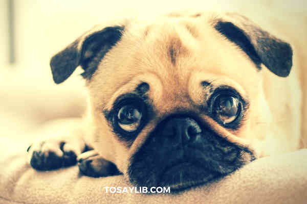 pug looking like crying
