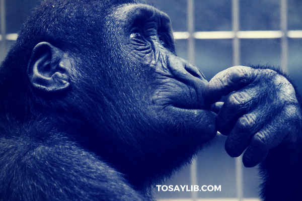 chimpanzee focusing listening thinking