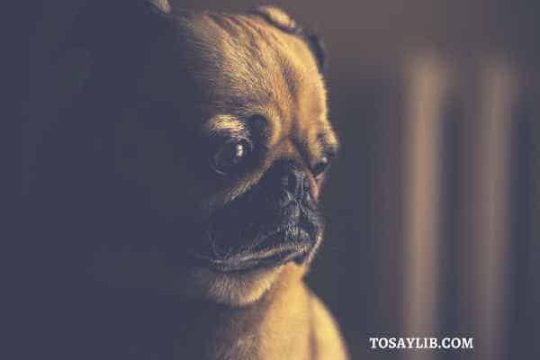 pug crying upset alone