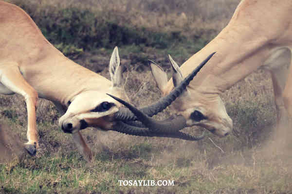 deer fighting wildlife