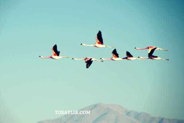 flamingo flying sky migrating