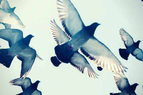gray pigeons flying in blue sk