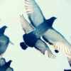 gray-pigeons-flying-in-blue-sk-1