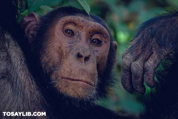 34 Portrait photo of a chimpanzee