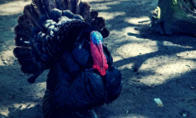 Feature-Photo-of-a-turkey