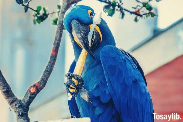blue_parrot_brushing_his_teeth