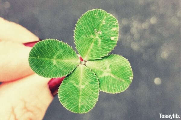 four leaf clover picture