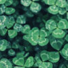 shamrock-leaf-plant-droplet