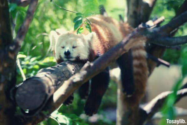 racoon sleeping on a tree branch