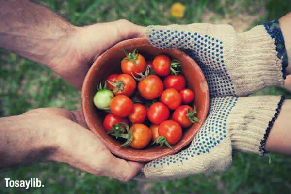 harvest tomatoes hands