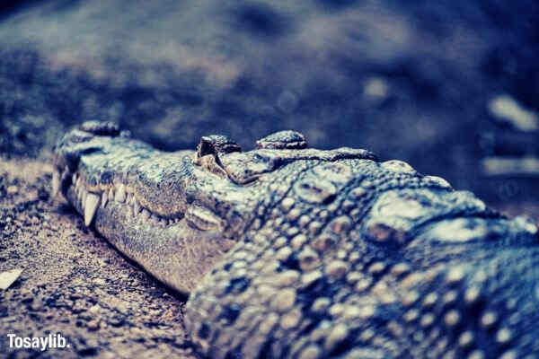 alligator reptile soil