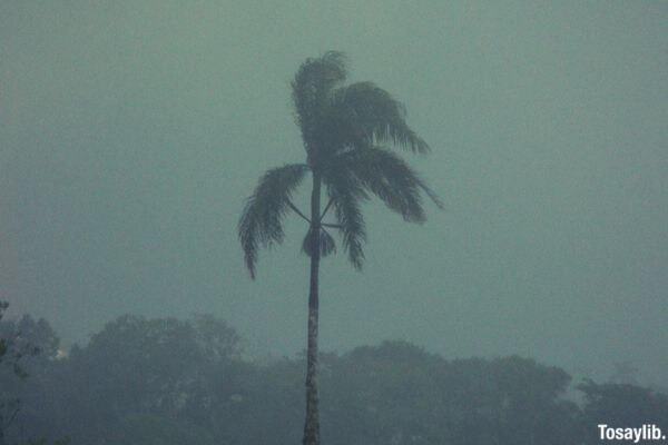 coconut tree typhoon
