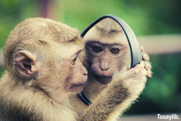 monkey looking at the mirror