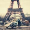 love-dove-eiffel-tower-paris-sunset