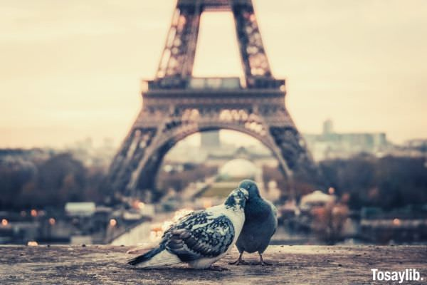 love dove eiffel tower paris
