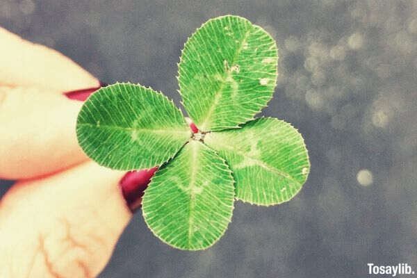 close up photo of four leaf clover