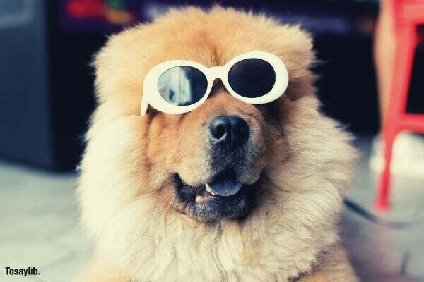 brown chow chow wearing glasses