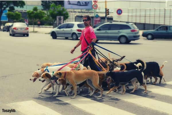 dog walker different breed of dogs street crossing cars