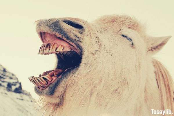camel showing its teeth