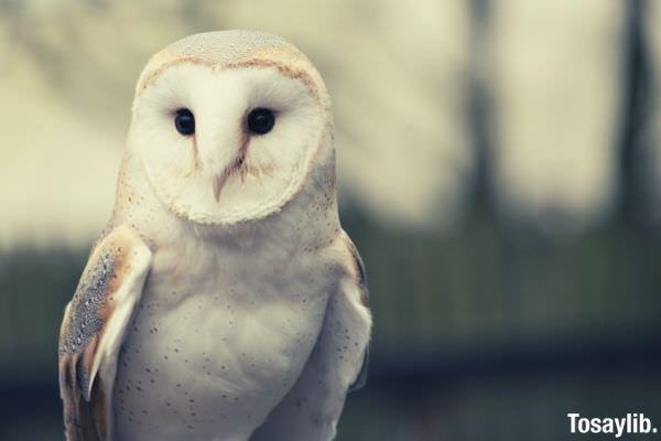 white owl photo