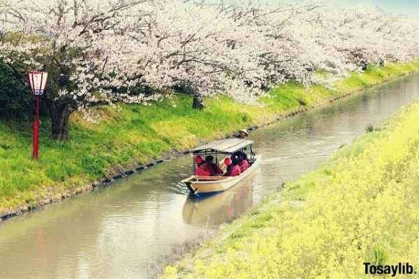 cherry blossoms water boat