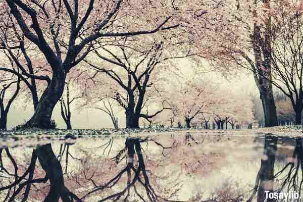 cherry blossom trees reflection
