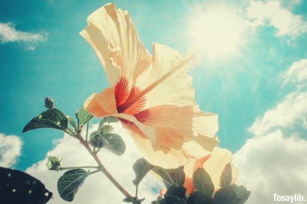 photo of yellow hibiscus under sunlight