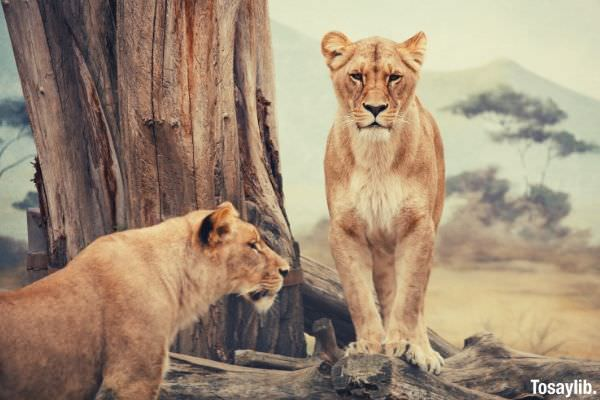 two lions standing near woods in daytime