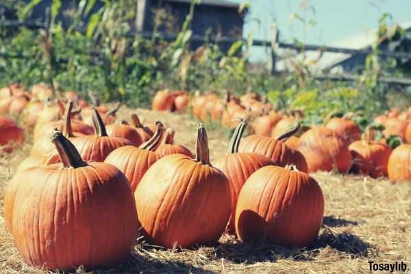 orange pumpkins on the brown grass field during daytime