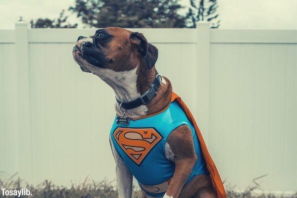 dog wearing superman costume sitting near the white wall